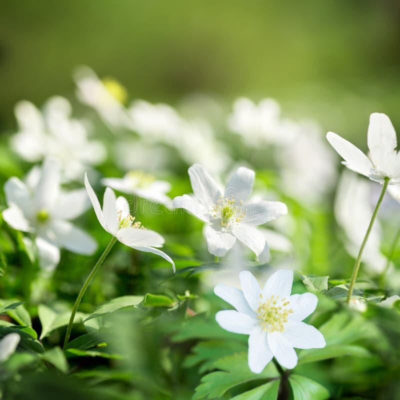 Weißer Frühling blüht Anemone nemorosa auf einem grünen Hintergrund lizenzfreie stockbilder