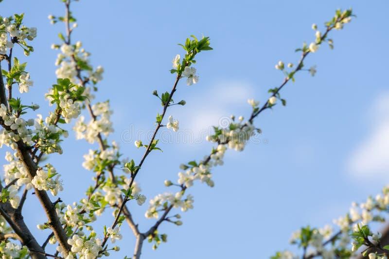 Weißer Frühlings-blühende Bäume Stockbild - Bild von jahreszeit ...