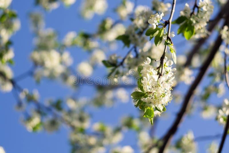 Weißer Frühlings-blühende Bäume Stockfoto - Bild von flora, weiß ...