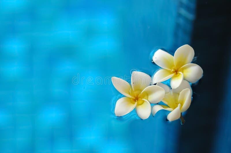 Weißer Frangipani Plumeria blüht das Schwimmen auf blaues Wasser im arom stockfotografie