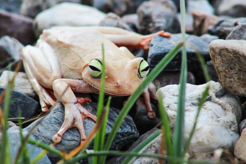 Weißer Frosch und grünes gemustert, ein Tier mit vibrierenden Augen stockbilder