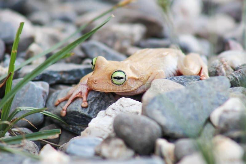 Weißer Frosch und grünes gemustert, ein Tier mit vibrierenden Augen stockbild