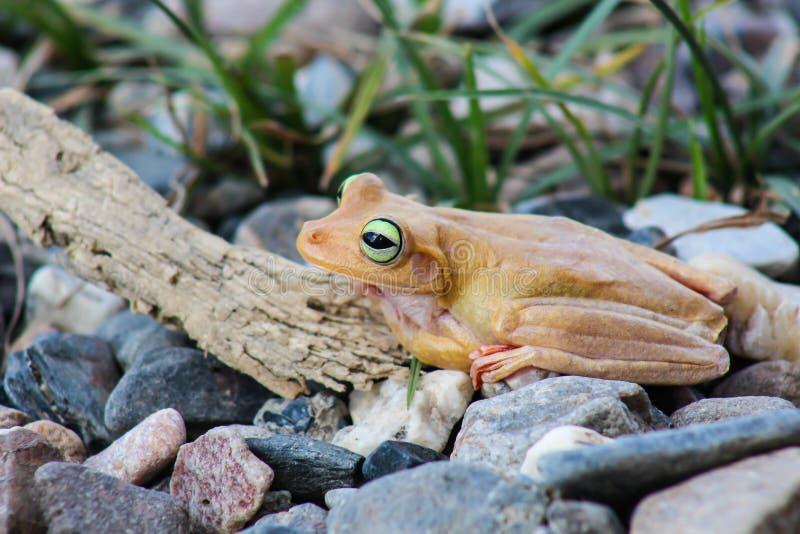 Weißer Frosch und grünes gemustert, ein Tier mit vibrierenden Augen stockfotos