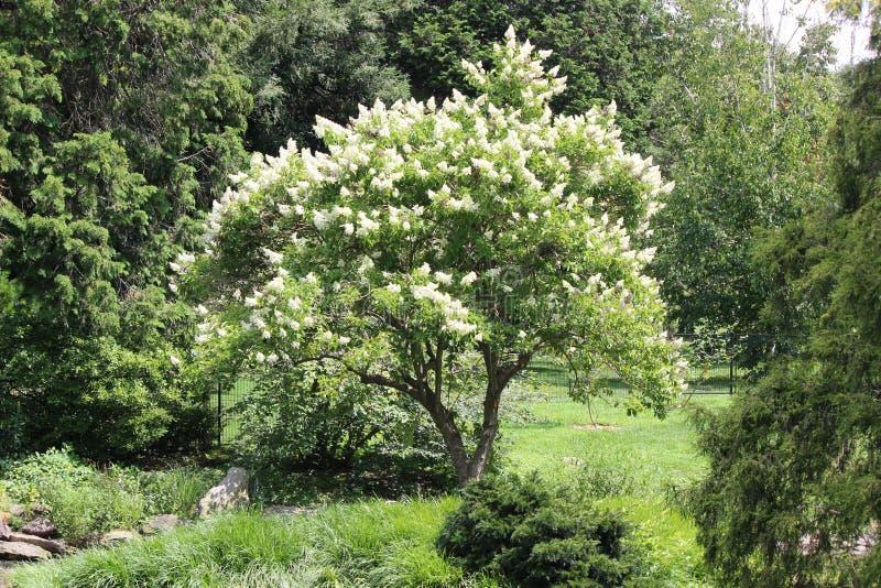 Weißer geblühter Baum lizenzfreie stockfotos
