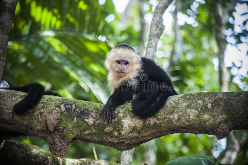 Weißer gegenübergestellter Baby Capuchin in Costa Rica stockbilder