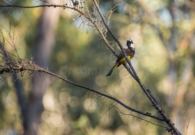 Weißer gegenübergestellter Honigesser herauf einen Baum stockbild