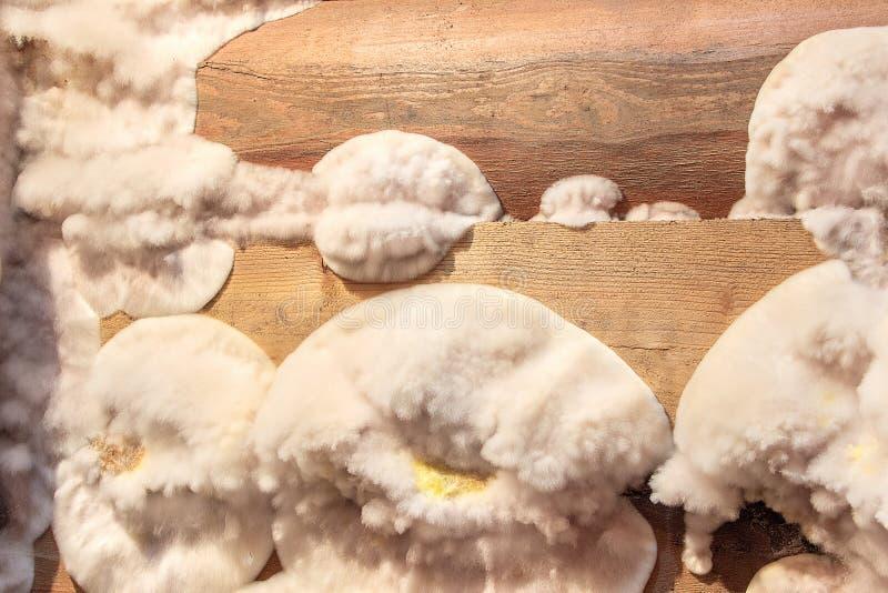 Weißer gelber flaumiger Formpilz auf hölzernem Brett im Keller, Dachboden, Keller im Wohngebäude stockfotografie