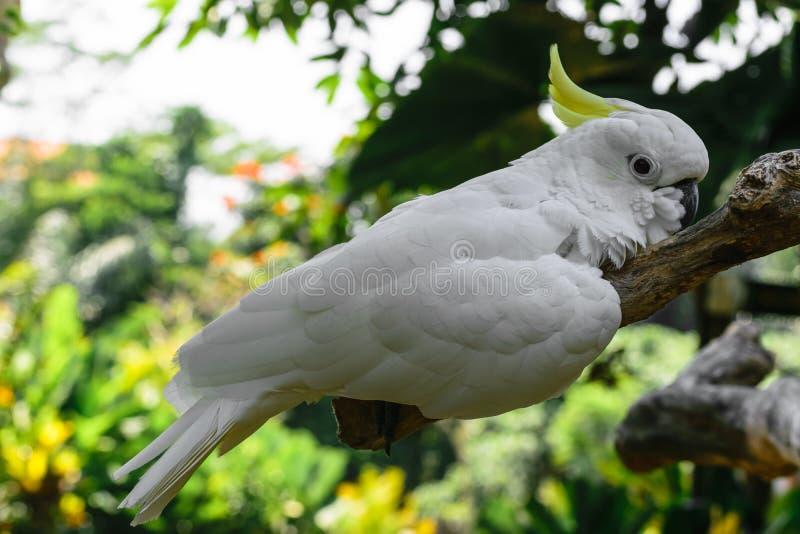 Weißer Gelbhaubenkakadu, der auf Niederlassung im grünen Laubhintergrund stillsteht stockfotografie