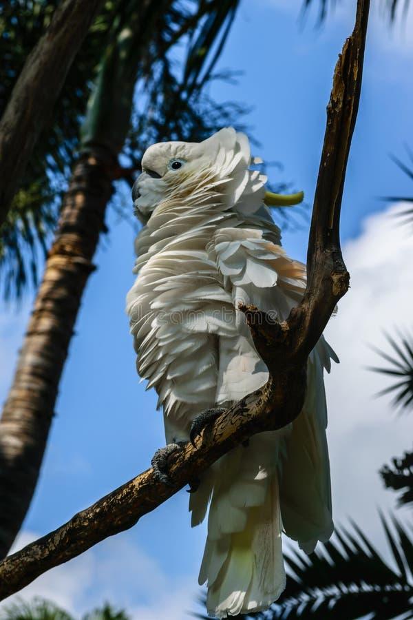 Weißer Gelbhaubenkakadu mit den flaumigen Federn, die auf b sitzen stockfotos