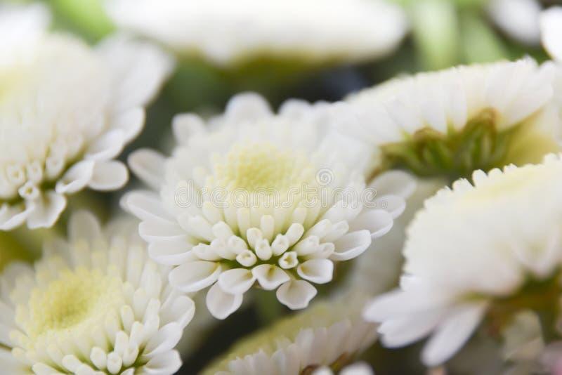 Weißer Gelbrosenblumenzusammenfassungshintergrund Makro-bokeh Blumenblätter stockbild