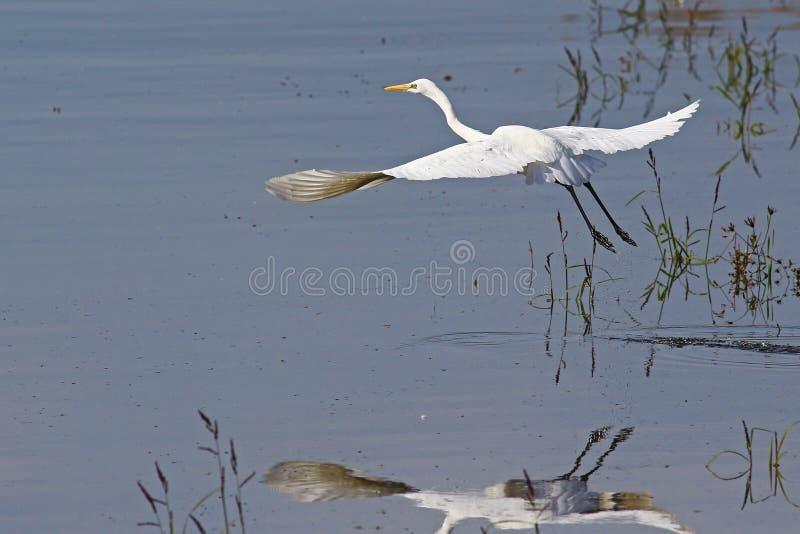 Weißer großer Reiher Takin weg in einem Sumpf lizenzfreies stockfoto