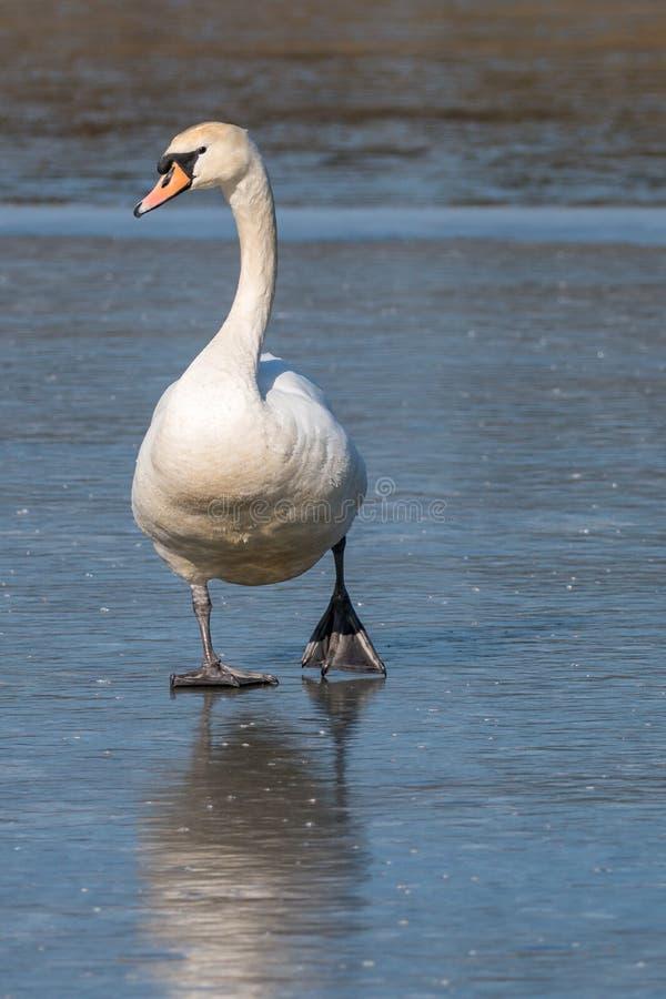 Weißer Höckerschwan, der auf blauen gefrorenen Teich geht stockbild
