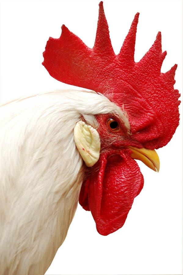 Weißer Hahn mit rotem Scheitel