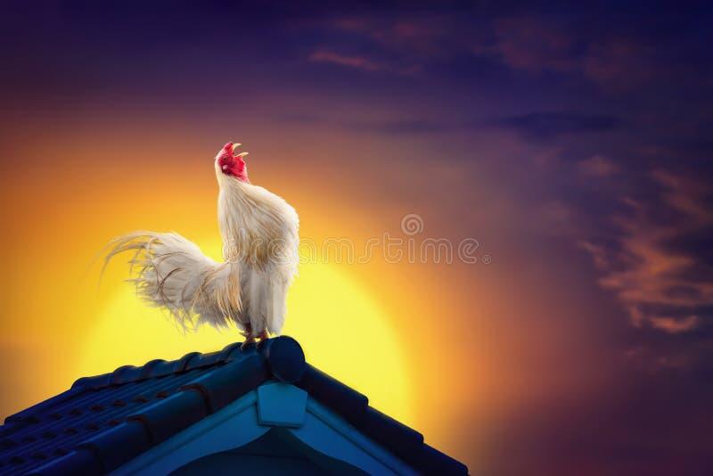 Weißer Hahnhühnerhahn, der auf Dach und schönem Sonnenaufgang kräht lizenzfreie stockfotografie
