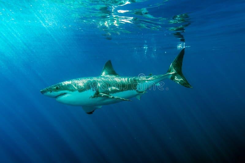 Weißer Hai bereit anzugreifen lizenzfreie stockbilder