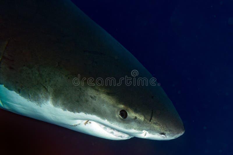 Weißer Hai bereit anzugreifen stockfotografie