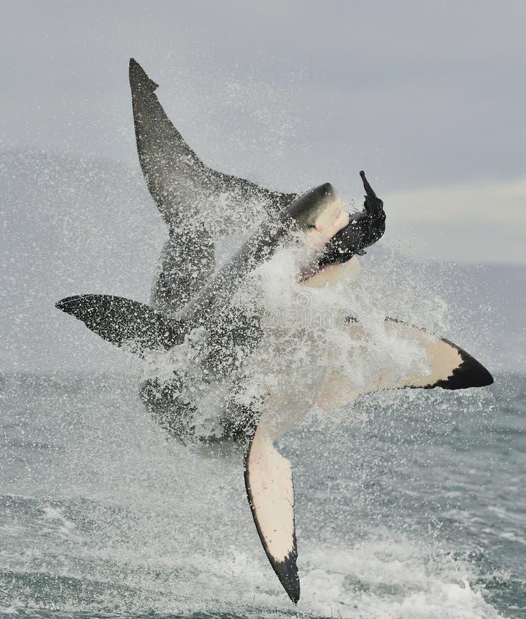 Weißer Hai (Carcharodon Carcharias) durchbrechend in einem Angriff lizenzfreies stockbild