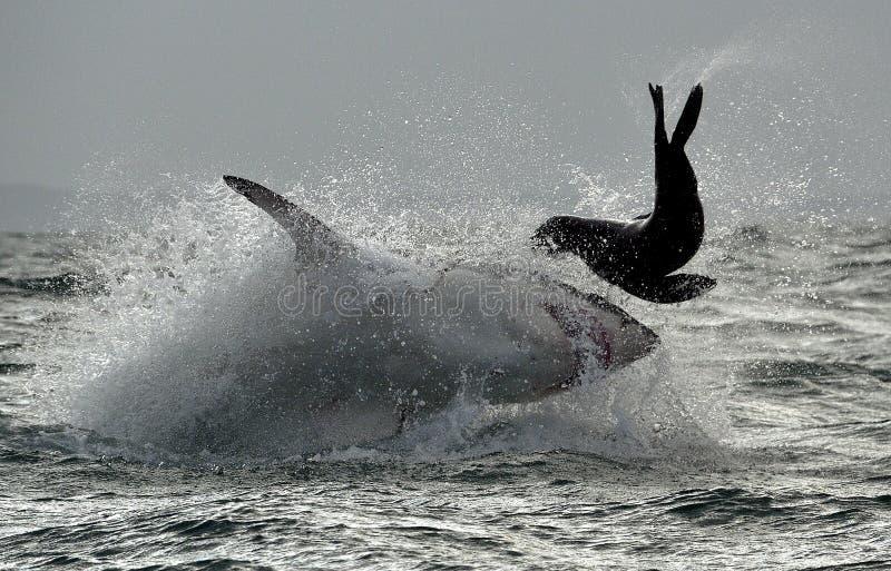 Weißer Hai (Carcharodon Carcharias) durchbrechend in einem Angriff stockfoto