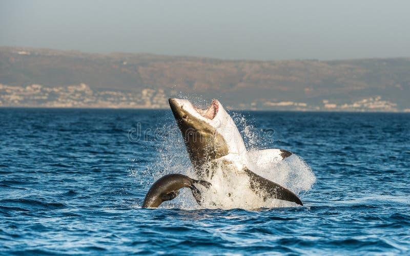 Weißer Hai (Carcharodon Carcharias) durchbrechend in einem Angriff stockfotos