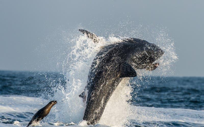 Weißer Hai (Carcharodon Carcharias) durchbrechend in einem Angriff auf Dichtung Jagd eines Weißen Hais (Carcharodon Carcharias) stockbild