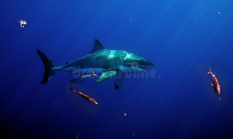 Weißer Hai, Guadalupe Island, Mexiko lizenzfreies stockbild
