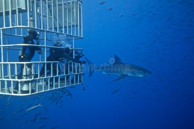 Weißer Hai mit Tauchern stockfotos