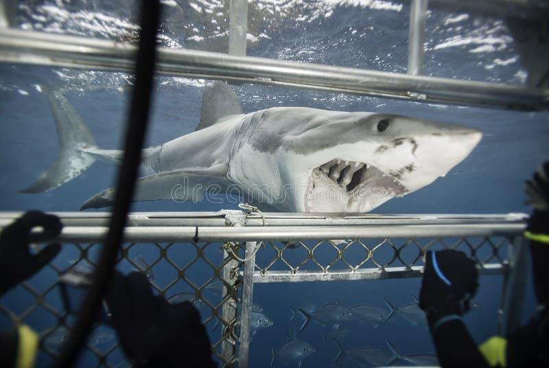 Weißer Hai Süd-Australien lizenzfreie stockbilder