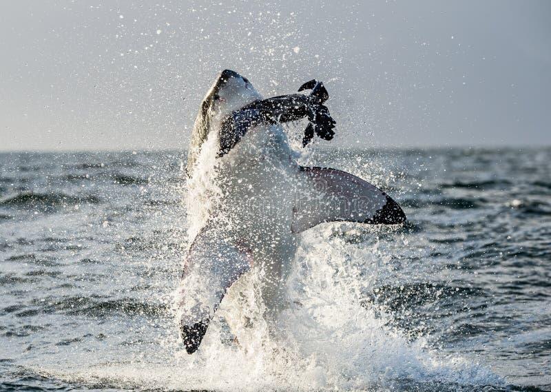 Weißer Hai u. x28; Carcharodon carcharias& x29; Durchbrechen in einem Angriff stockfoto