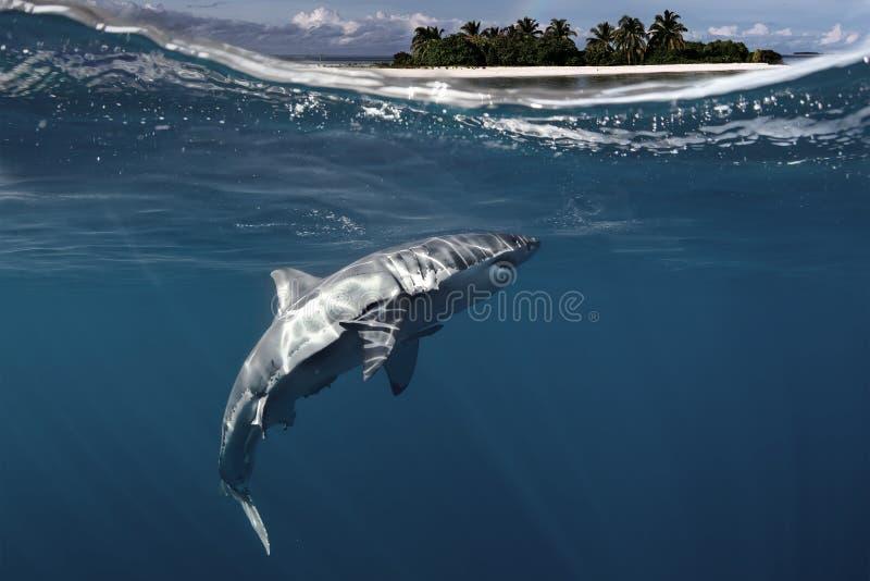 Weißer Hai Unterwasser lizenzfreies stockbild