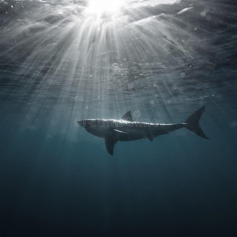 Weißer Hai Unterwasser lizenzfreie stockbilder