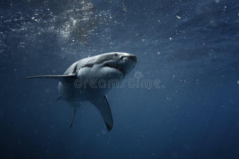 Weißer Hai Unterwasser stockfotos