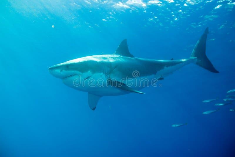 Weißer Hai Unterwasser lizenzfreies stockfoto