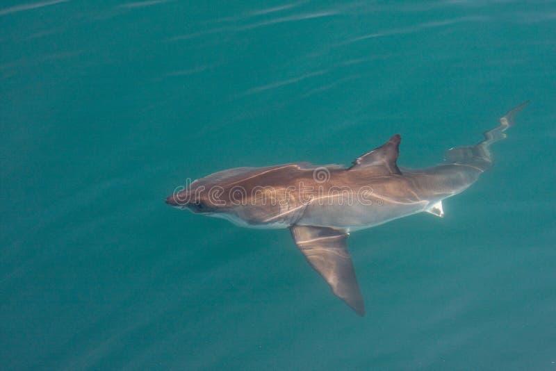 Weißer Haifisch lizenzfreie stockbilder