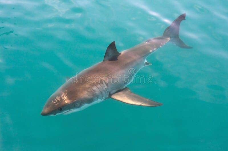 Weißer Haifisch stockfoto