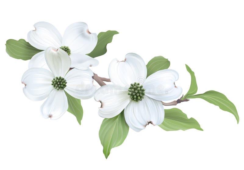 Weißer Hartriegel (Kornelkirsche Florida) Vektor Abbildung ...
