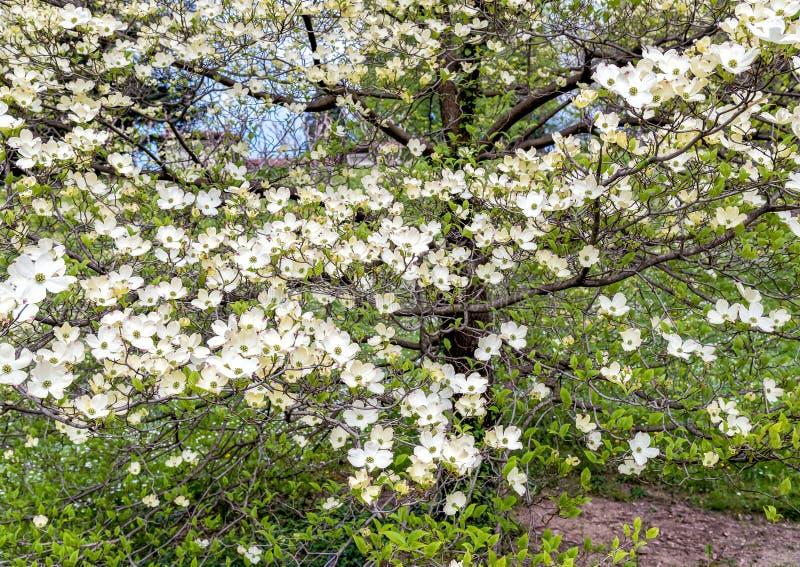 Weißer Hartriegelbaum Oder Kornelkirsche Florida Stockfoto - Bild ...