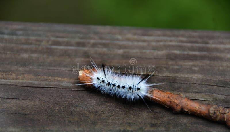 Weißer Hickory-Trägspinner Caterpillar in NewYorkState lizenzfreies stockfoto