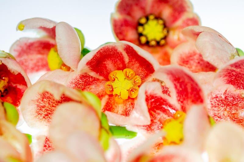 Weißer Hintergrund der korallenroten orange Blume lizenzfreie stockfotos