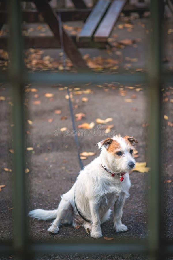 Weißer Hund außerhalb des Cafés stockfotografie