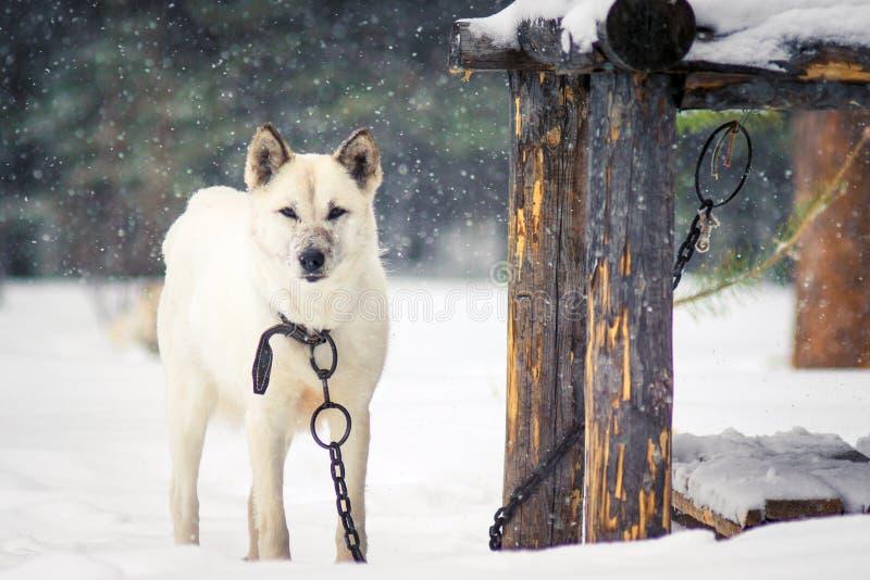 Weißer Hund auf einer Kette im Winter lizenzfreies stockbild