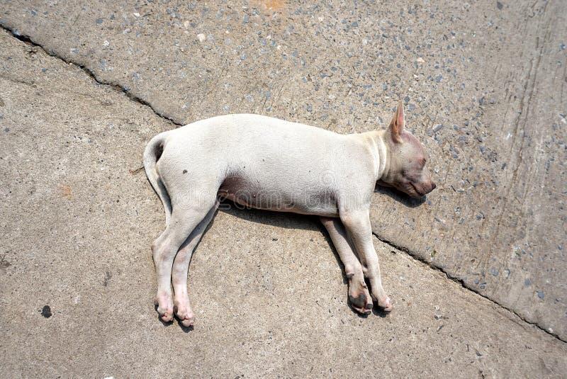 Weißer Hund, der auf einer Betonstraße liegt lizenzfreie stockbilder