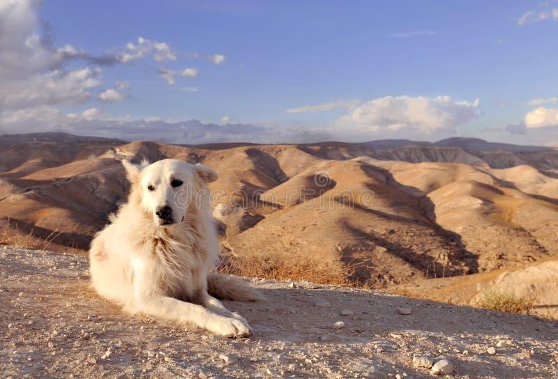 Weißer Hund in der Wüste stockbilder