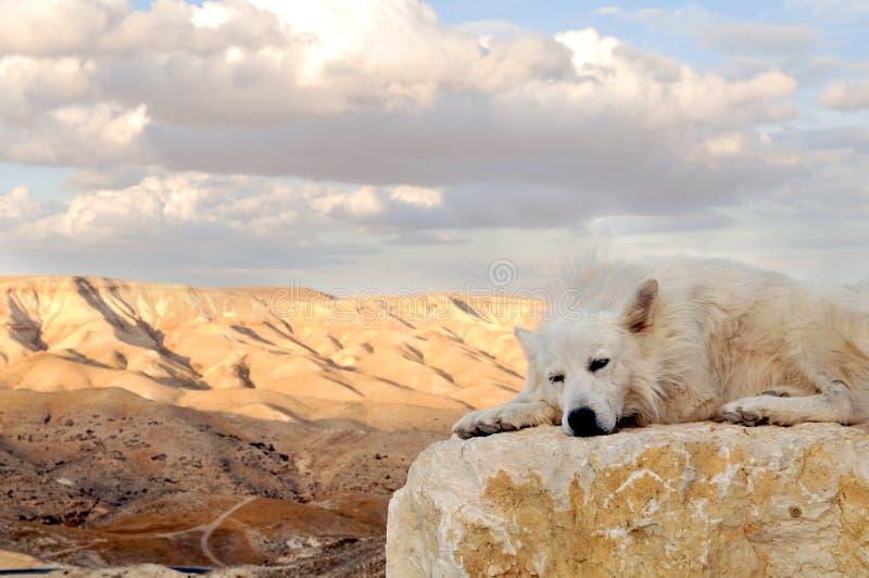 Weißer Hund in der Wüste stockfotografie