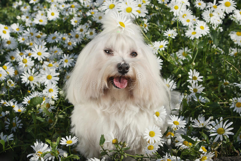 Weißer Hund im Garten - maltesische maltesische Hunderasse Bichon lizenzfreie stockbilder