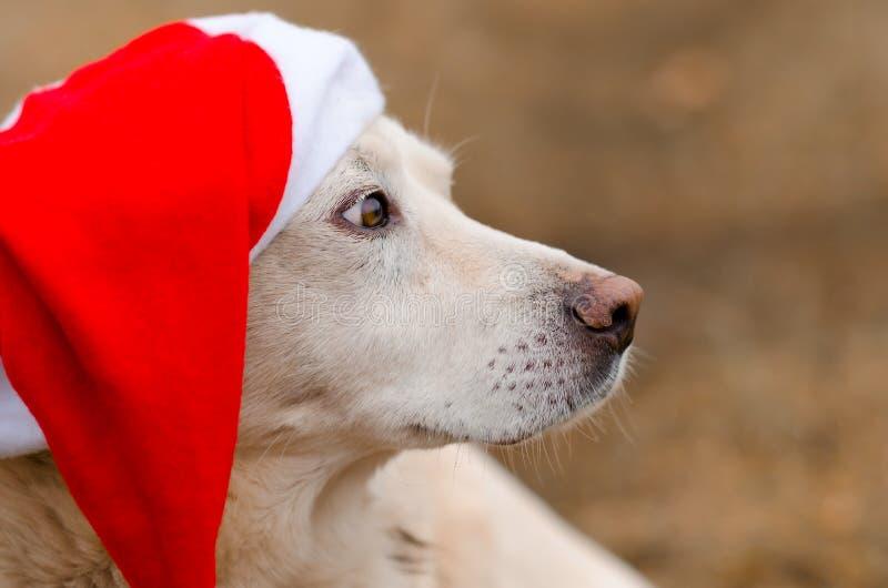 Weißer Hund im Weihnachtshut lizenzfreies stockbild