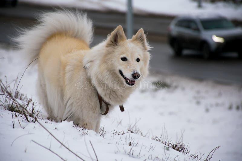 Weißer Hund Laika, das sonnigen Wintertag spielt lizenzfreie stockbilder