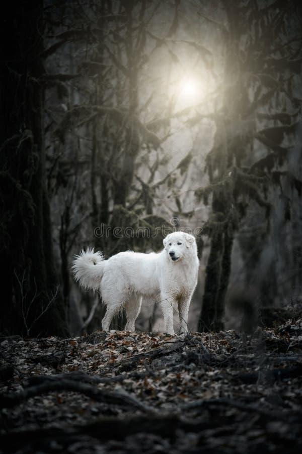 Weißer Hund Maremma oder Abruzzen, auf einem dunklen Hintergrund stockfotos