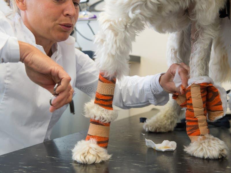 Weißer Hund mit Verband am Tierarzt lizenzfreie stockfotografie