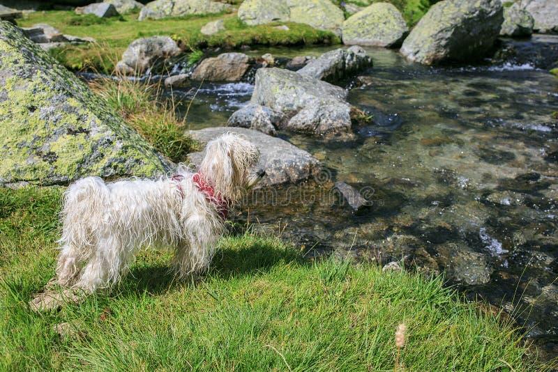 Weißer Hundestand in einer Wiese nahe dem See lizenzfreies stockfoto