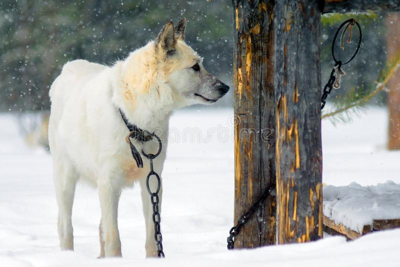 Weißer Hundewinter auf der Kette stockfotos